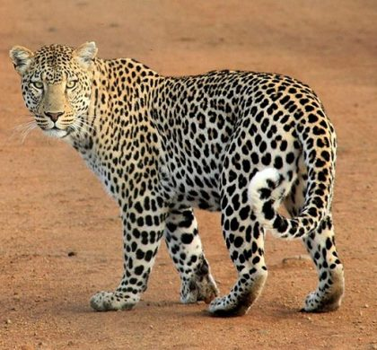 Квест «засели крокодила и леопарда в однокомнатную квартиру»
